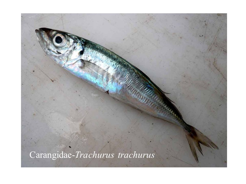 Carangidae-Trachurus trachurus