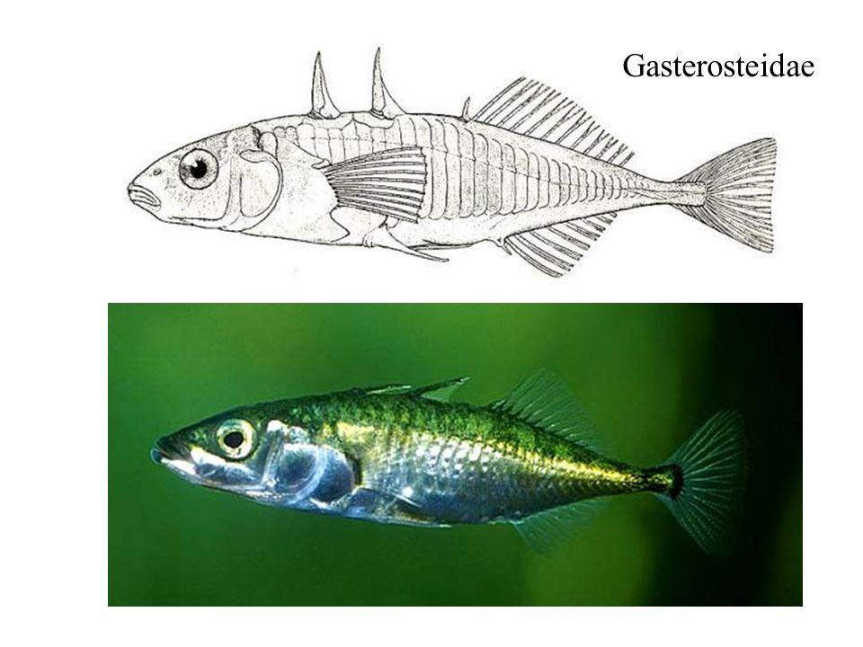 Gasterosteidae
