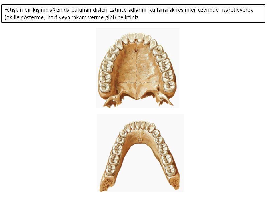 Yetişkin bir kişinin ağızında bulunan dişleri Latince adlarını kullanarak resimler üzerinde işaretleyerek (ok ile gösterme, harf veya rakam verme gibi) belirtiniz
