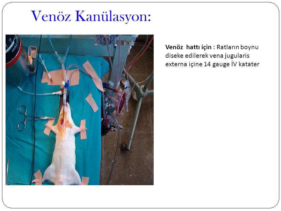 Venöz Kanülasyon: Venöz hattı için : Ratların boynu diseke edilerek vena jugularis externa içine 14 gauge İV katater.