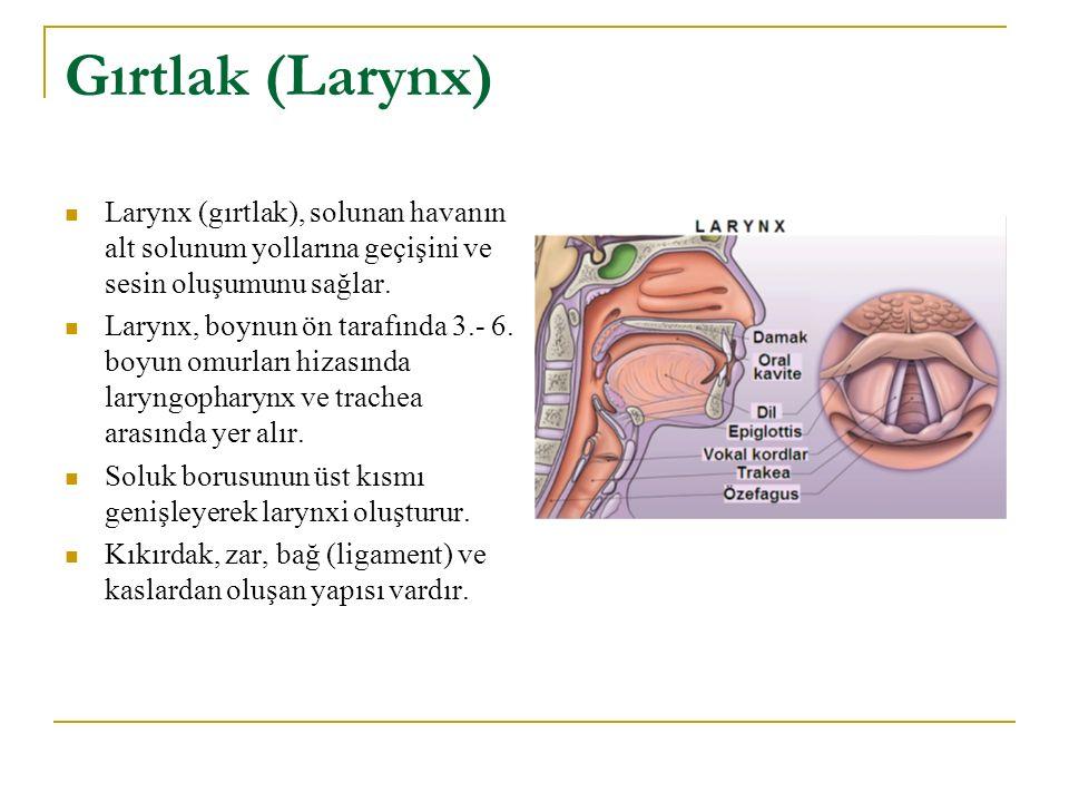 Gırtlak (Larynx) Larynx (gırtlak), solunan havanın alt solunum yollarına geçişini ve sesin oluşumunu sağlar.