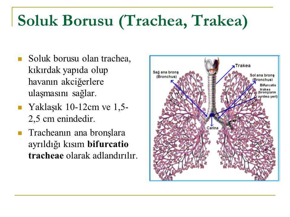 Soluk Borusu (Trachea, Trakea)