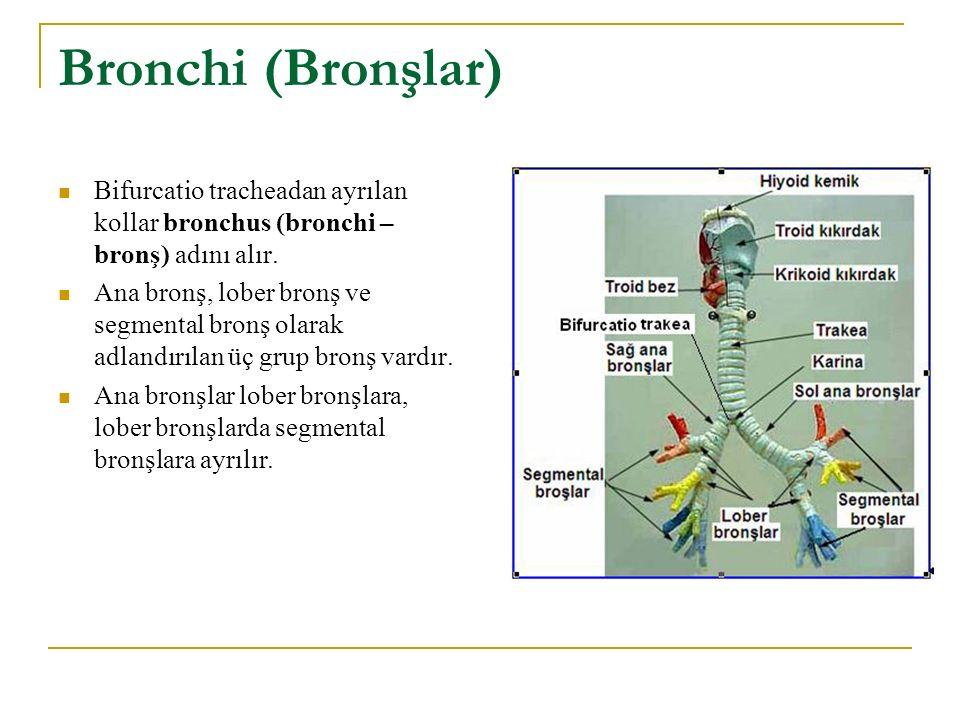 Bronchi (Bronşlar) Bifurcatio tracheadan ayrılan kollar bronchus (bronchi – bronş) adını alır.
