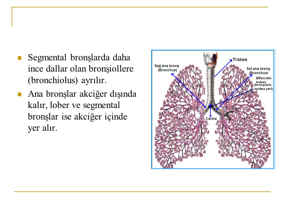 Segmental bronşlarda daha ince dallar olan bronşiollere (bronchiolus) ayrılır.