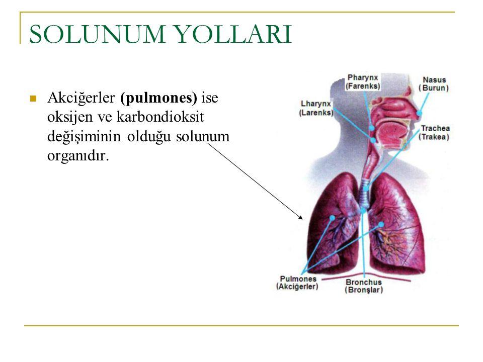 SOLUNUM YOLLARI Akciğerler (pulmones) ise oksijen ve karbondioksit değişiminin olduğu solunum organıdır.