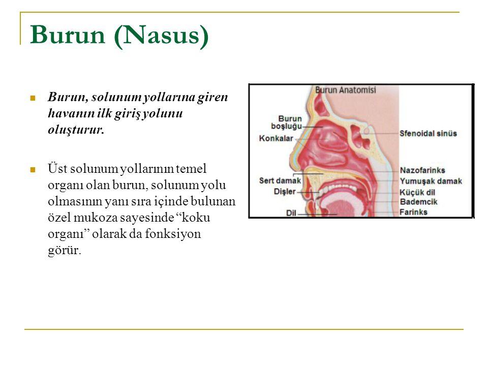 Burun (Nasus) Burun, solunum yollarına giren havanın ilk giriş yolunu oluşturur.