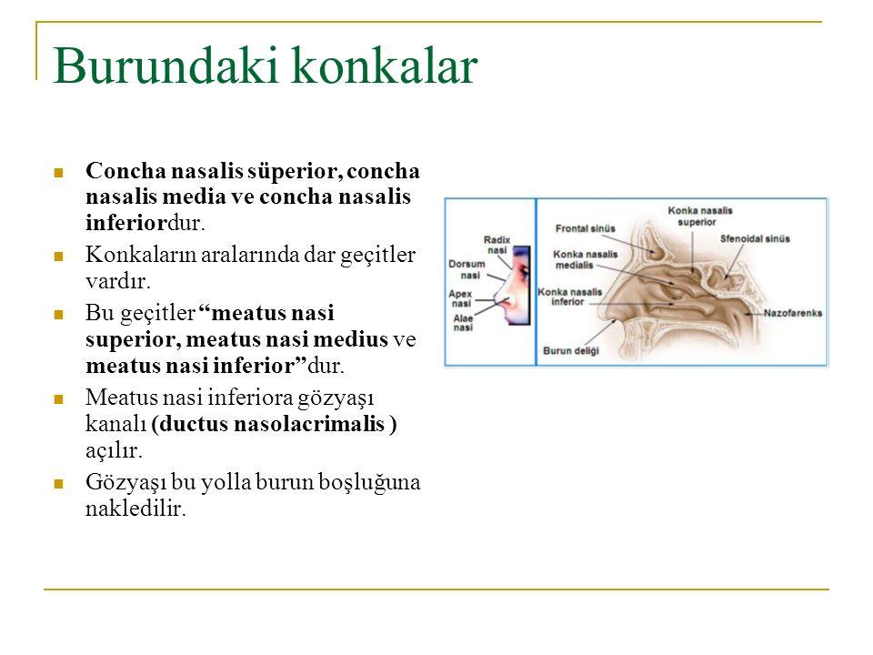 Burundaki konkalar Concha nasalis süperior, concha nasalis media ve concha nasalis inferiordur. Konkaların aralarında dar geçitler vardır.