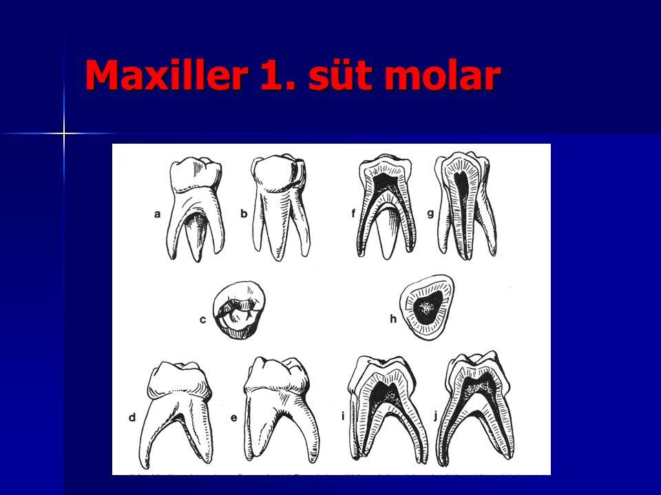 Maxiller 1. süt molar