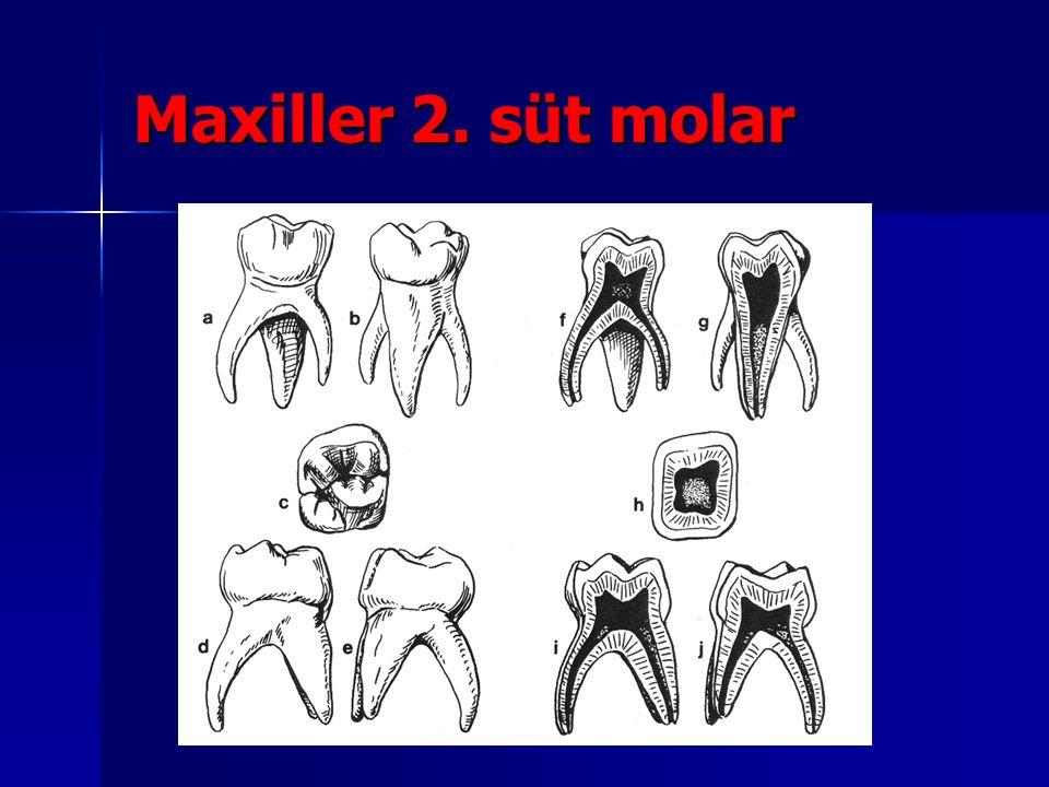 Maxiller 2. süt molar