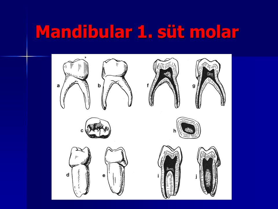 Mandibular 1. süt molar