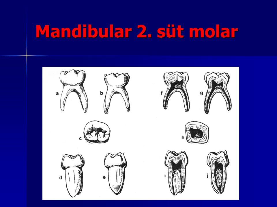 Mandibular 2. süt molar