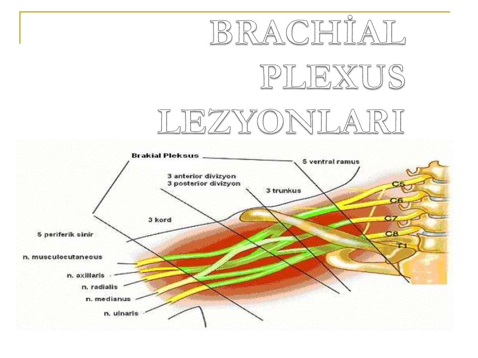 BRACHİAL PLEXUS LEZYONLARI