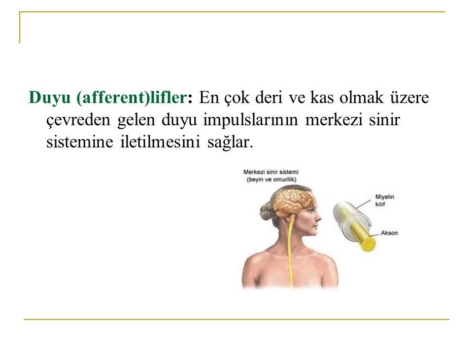 Duyu (afferent)lifler: En çok deri ve kas olmak üzere çevreden gelen duyu impulslarının merkezi sinir sistemine iletilmesini sağlar.