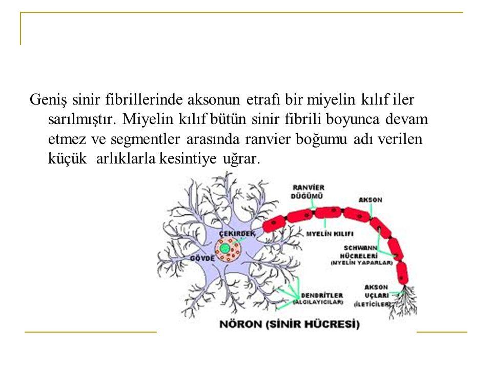 Geniş sinir fibrillerinde aksonun etrafı bir miyelin kılıf iler sarılmıştır.