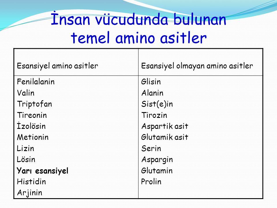 İnsan vücudunda bulunan temel amino asitler
