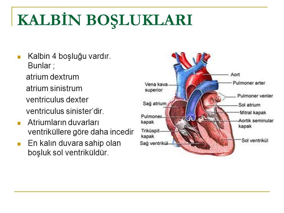 KALBİN BOŞLUKLARI Kalbin 4 boşluğu vardır. Bunlar ; atrium dextrum