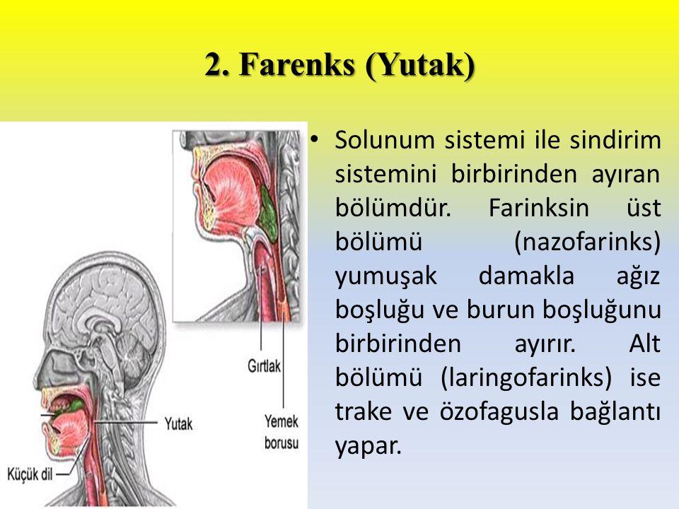 2. Farenks (Yutak)