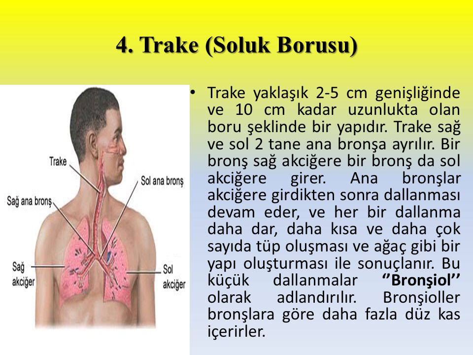 4. Trake (Soluk Borusu)