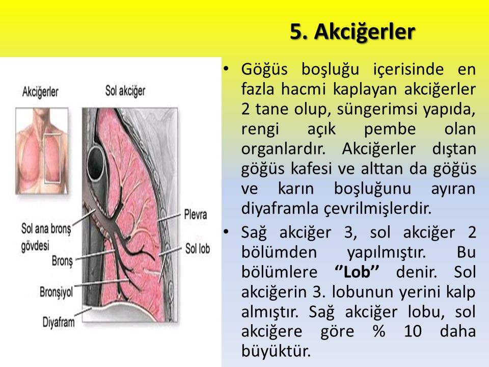 5. Akciğerler
