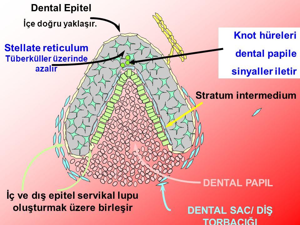 Stellate reticulum Tüberküller üzerinde azalır