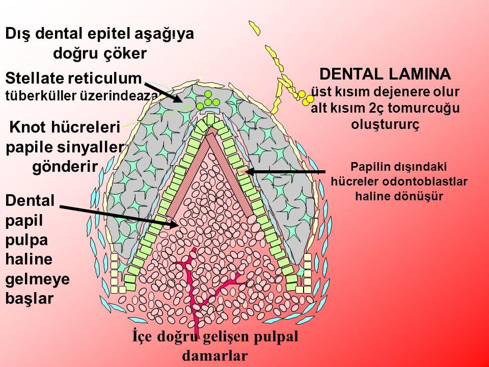Dış dental epitel aşağıya doğru çöker