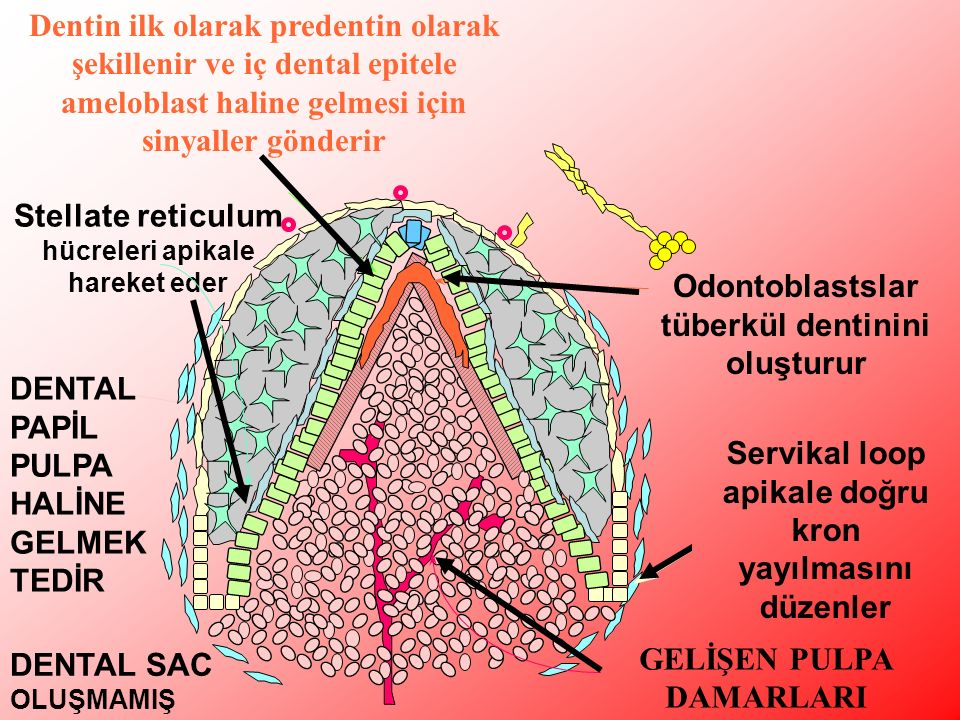 Stellate reticulum hücreleri apikale hareket eder