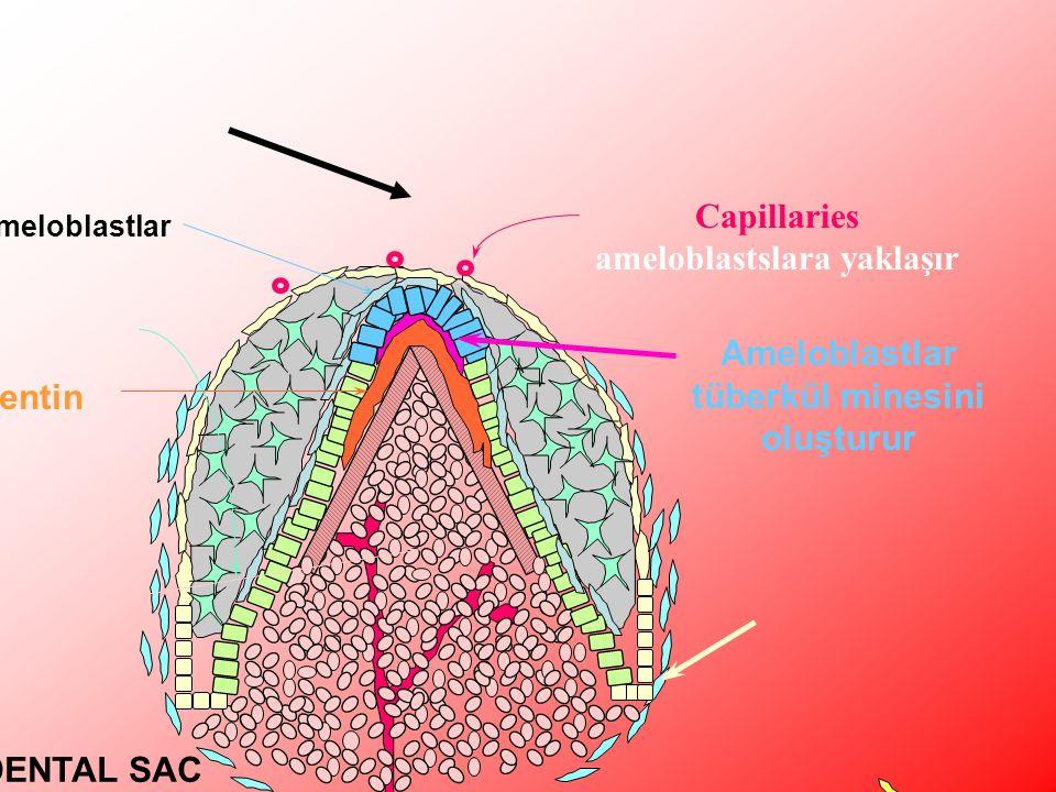 DENTAL SAC HALA OLUŞMAMIŞ Ameloblastlar tüberkül minesini oluşturur