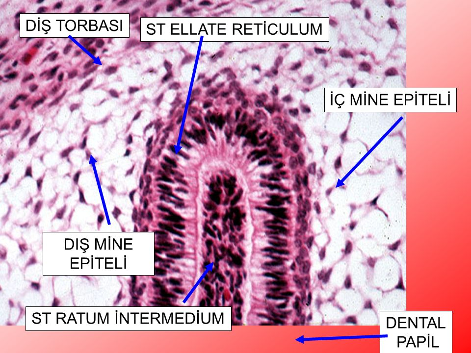 DİŞ TORBASI ST ELLATE RETİCULUM. Higher power of image 31. The layers of the tooth germ are shown as they appear at the top of the bell. H&E, 200x.