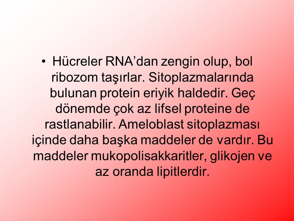 Hücreler RNA'dan zengin olup, bol ribozom taşırlar