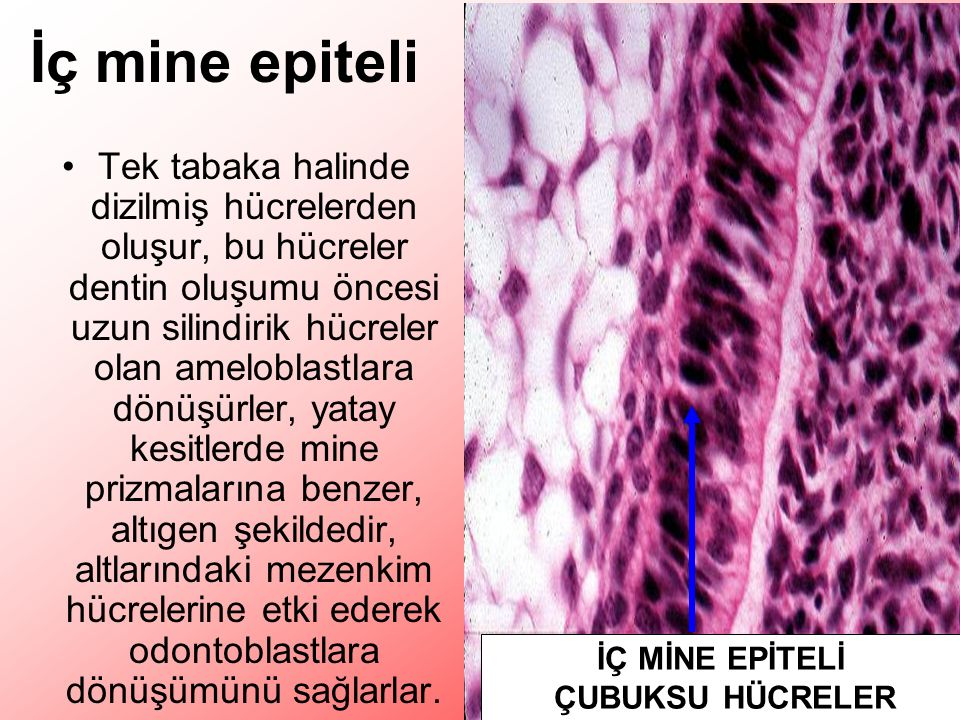 İç mine epiteli