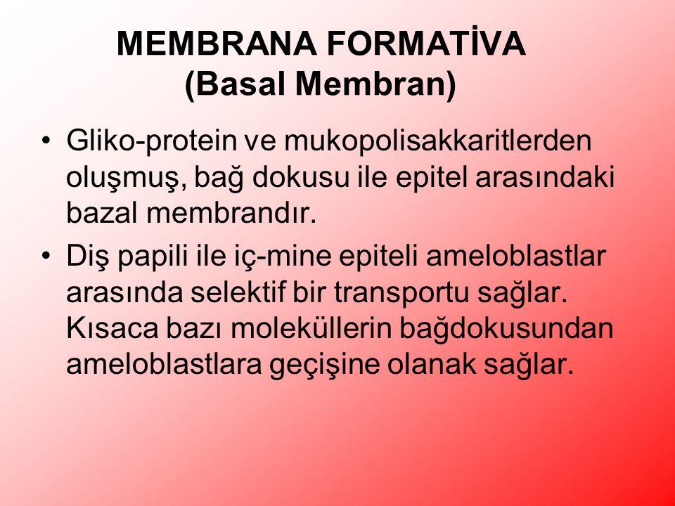 MEMBRANA FORMATİVA (Basal Membran)