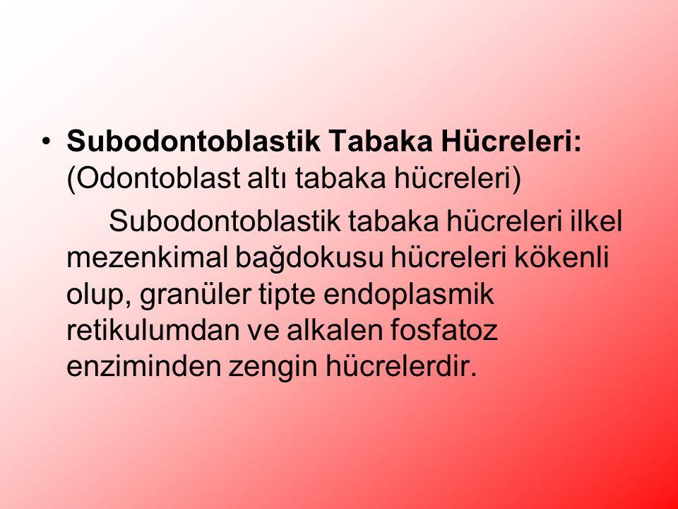 Subodontoblastik Tabaka Hücreleri: (Odontoblast altı tabaka hücreleri)