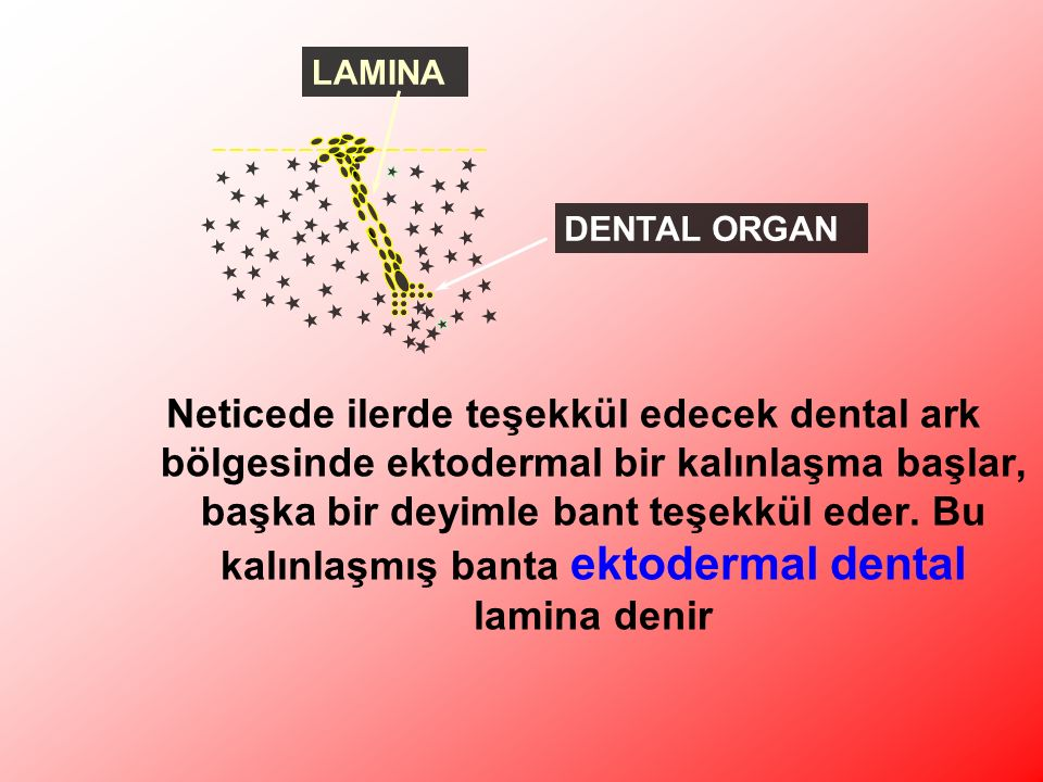 LAMINA DENTAL ORGAN.