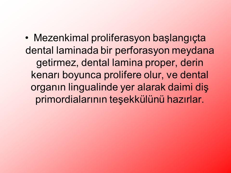 Mezenkimal proliferasyon başlangıçta dental laminada bir perforasyon meydana getirmez, dental lamina proper, derin kenarı boyunca prolifere olur, ve dental organın lingualinde yer alarak daimi diş primordialarının teşekkülünü hazırlar.