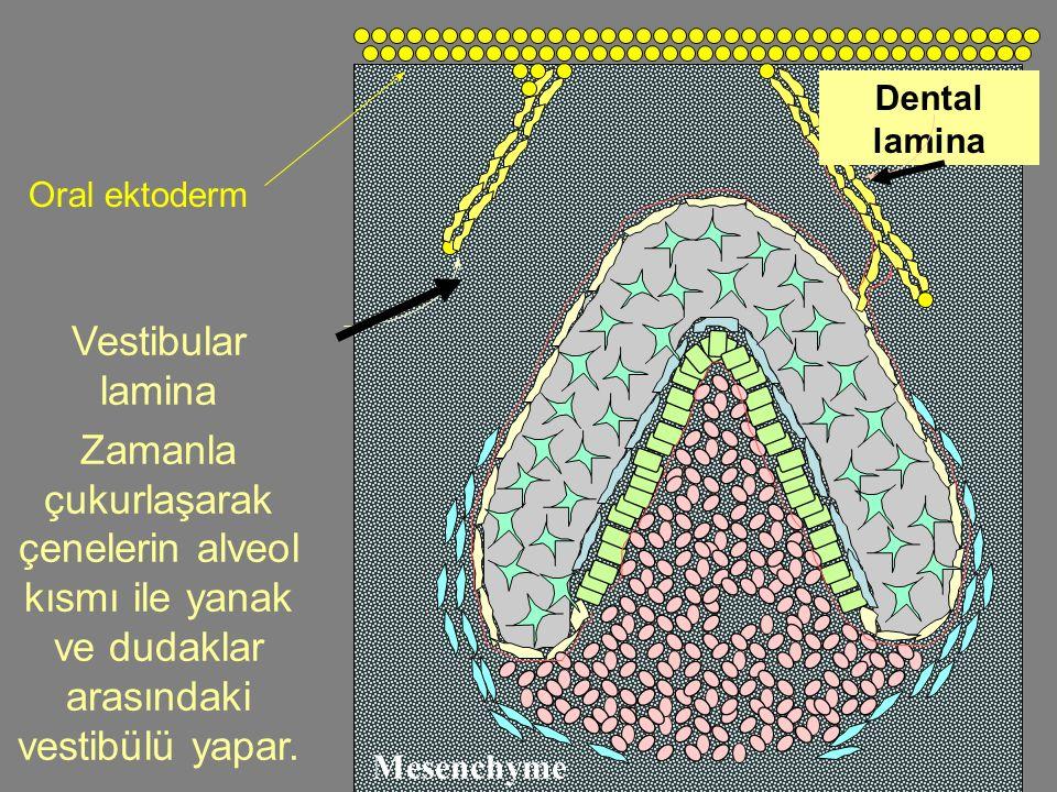 Dental lamina Oral ektoderm. Vestibular lamina. Zamanla çukurlaşarak çenelerin alveol kısmı ile yanak ve dudaklar arasındaki vestibülü yapar.