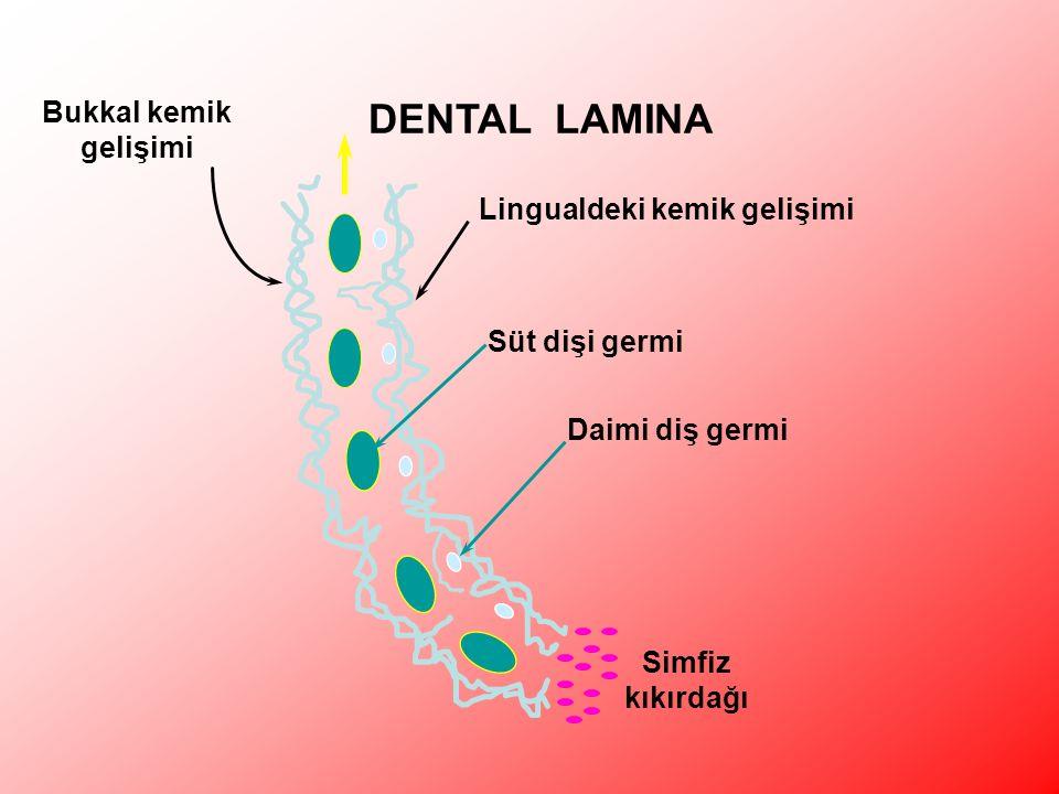 DENTAL LAMINA Bukkal kemik gelişimi Lingualdeki kemik gelişimi