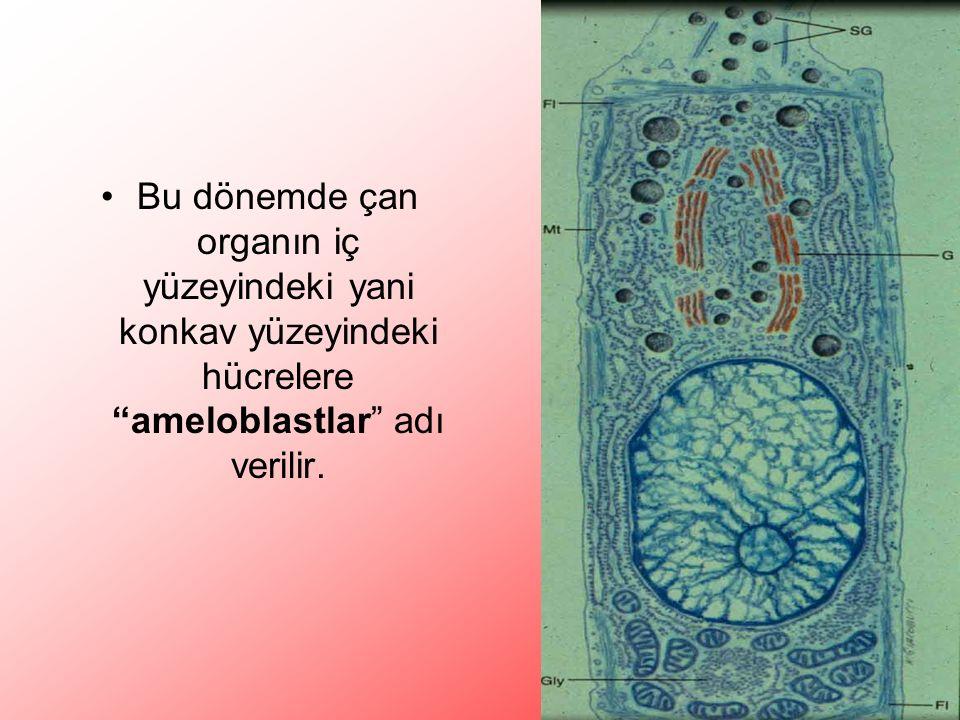 Bu dönemde çan organın iç yüzeyindeki yani konkav yüzeyindeki hücrelere ameloblastlar adı verilir.