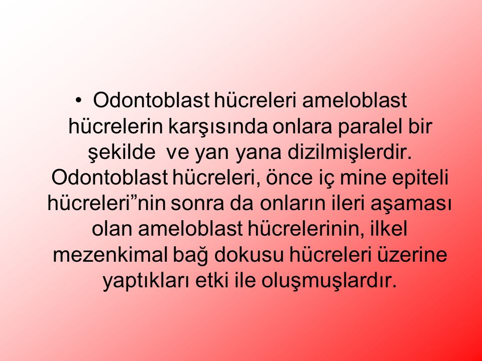 Odontoblast hücreleri ameloblast hücrelerin karşısında onlara paralel bir şekilde ve yan yana dizilmişlerdir.