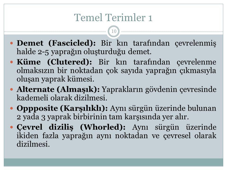 Temel Terimler 1 Demet (Fascicled): Bir kın tarafından çevrelenmiş halde 2-5 yaprağın oluşturduğu demet.