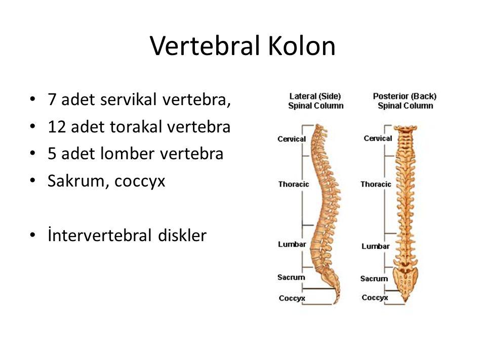 Vertebral Kolon 7 adet servikal vertebra, 12 adet torakal vertebra