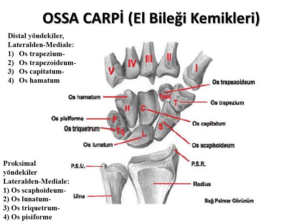 OSSA CARPİ (El Bileği Kemikleri)
