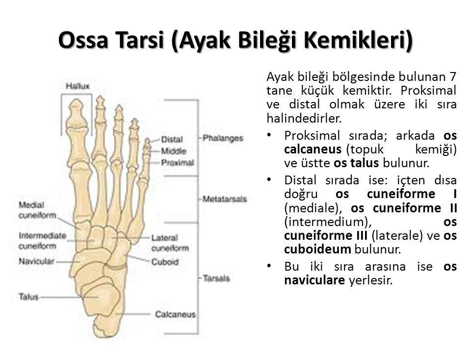 Ossa Tarsi (Ayak Bileği Kemikleri)
