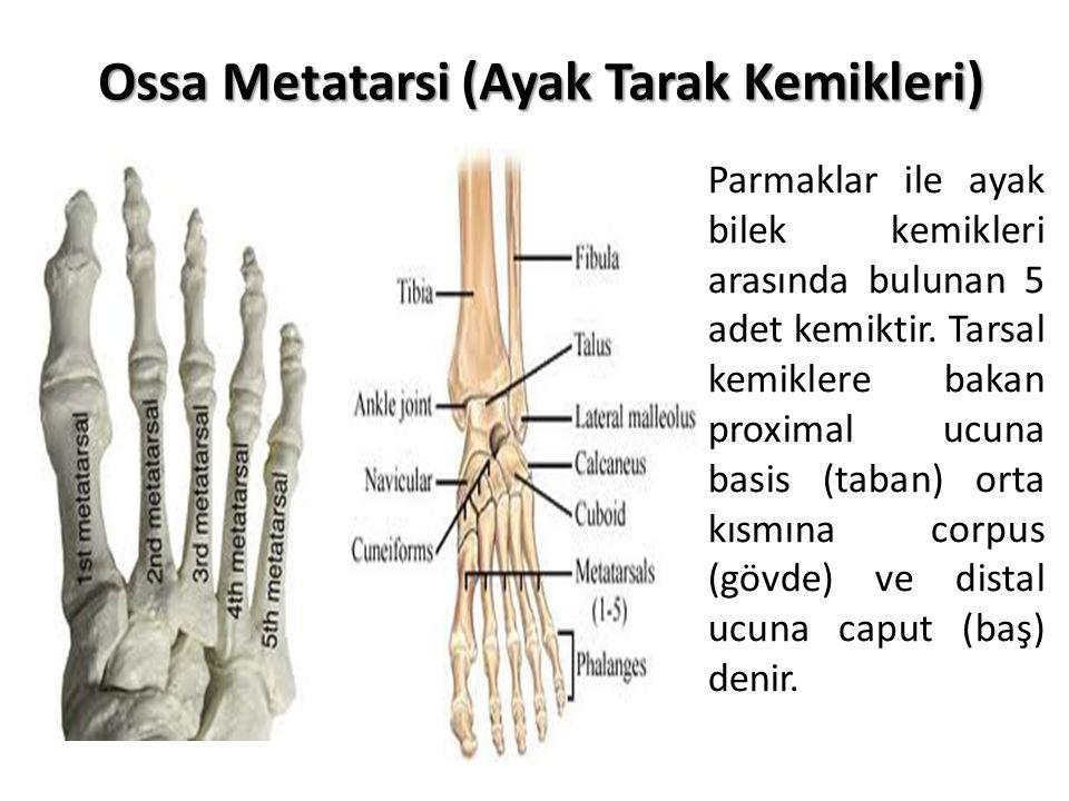 Ossa Metatarsi (Ayak Tarak Kemikleri)