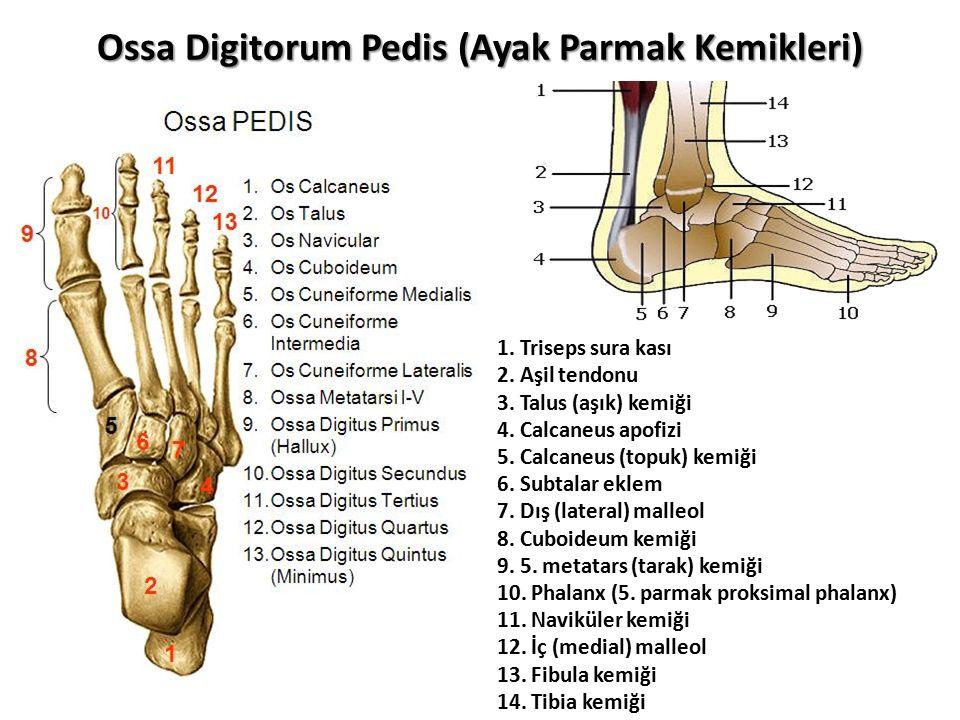 Ossa Digitorum Pedis (Ayak Parmak Kemikleri)