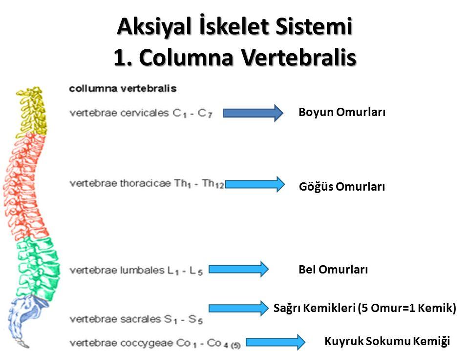 Aksiyal İskelet Sistemi 1. Columna Vertebralis