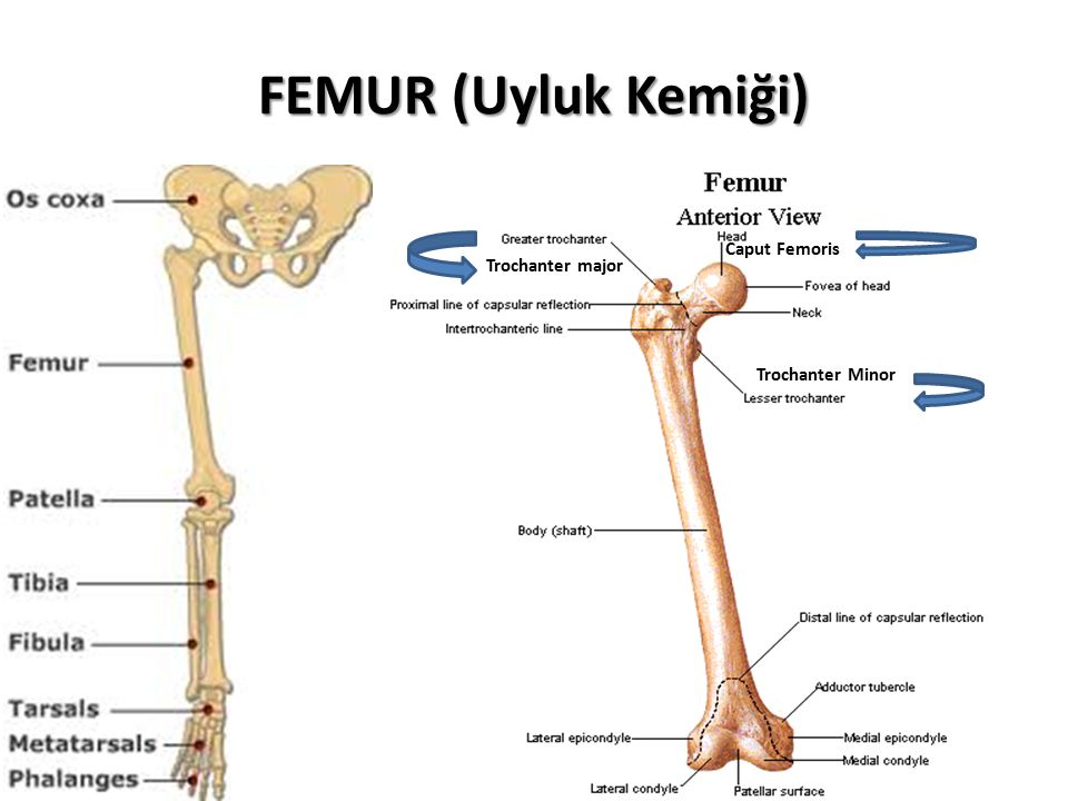 FEMUR (Uyluk Kemiği) Caput Femoris Trochanter major Trochanter Minor