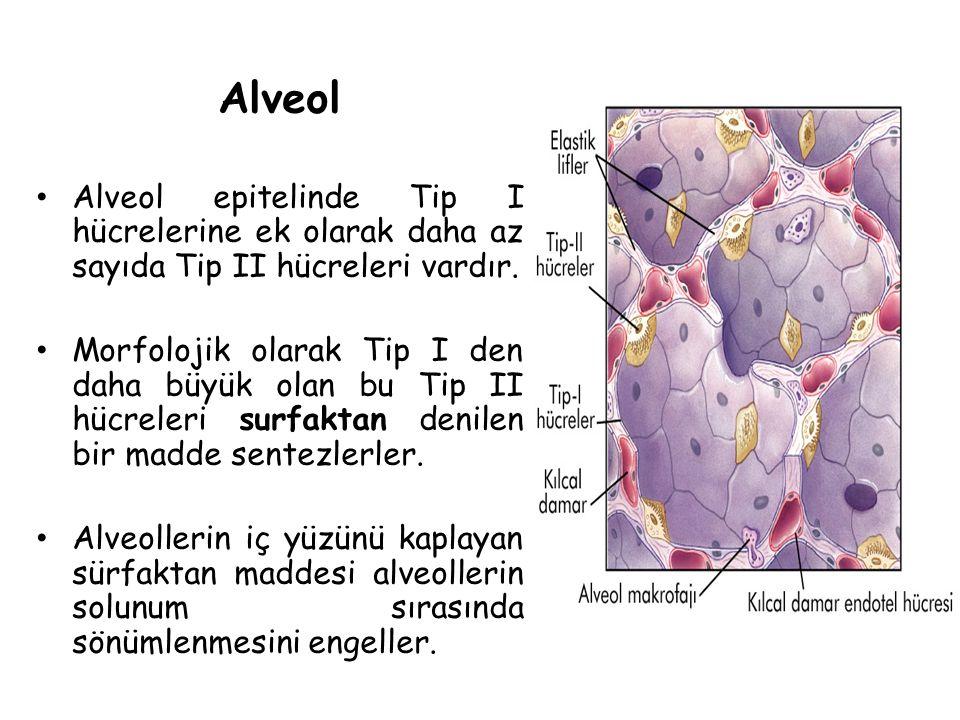 Alveol Alveol epitelinde Tip I hücrelerine ek olarak daha az sayıda Tip II hücreleri vardır.