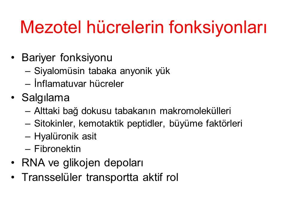 Mezotel hücrelerin fonksiyonları