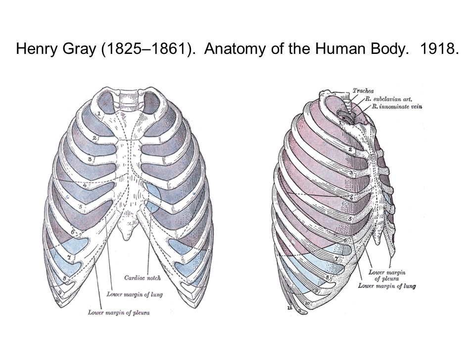 Henry Gray (1825–1861). Anatomy of the Human Body. 1918.