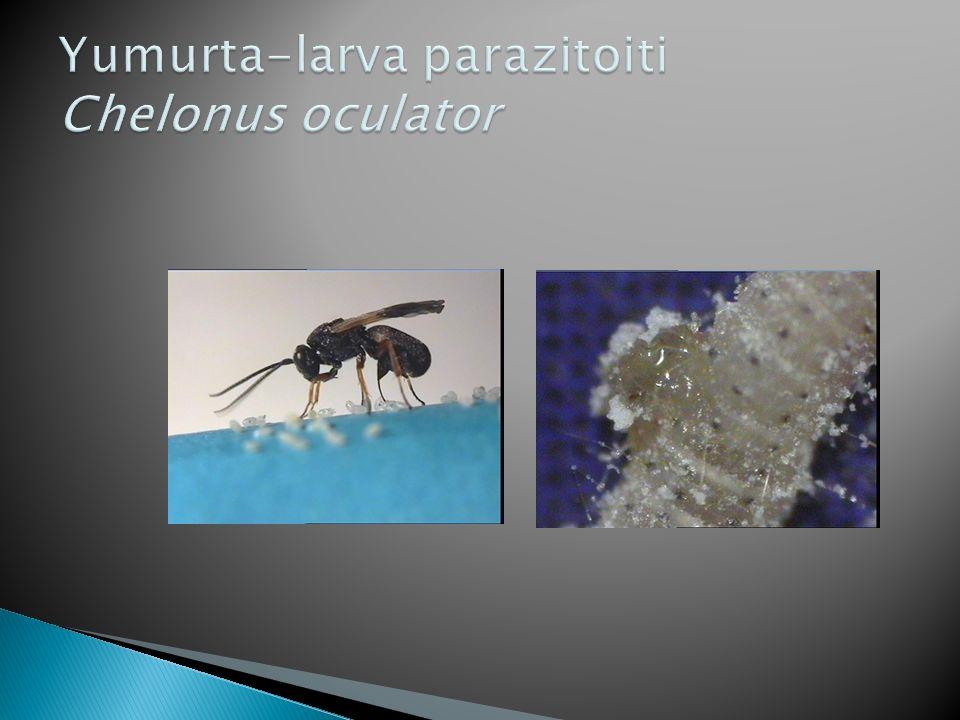 Yumurta-larva parazitoiti Chelonus oculator